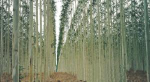 eucaliptusgm